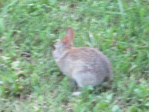 Much too brave baby rabbit.